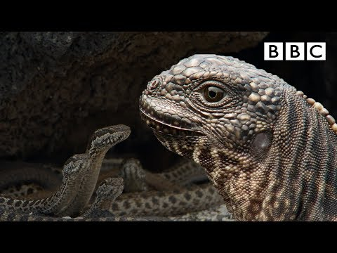 Iguana Chased By Snakes