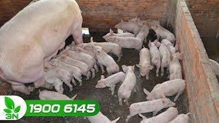 """Chăn nuôi lợn   """"Cứu"""" lợn con bị E.coli dung huyết bằng cách nào?"""
