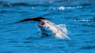 Video Fish catches bird flying MP3, 3GP, MP4, WEBM, AVI, FLV Agustus 2019