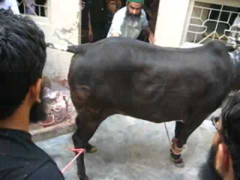 cow qurbani jeewajee family 2010 (4)