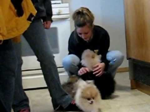 0 Pomeranian Puppies