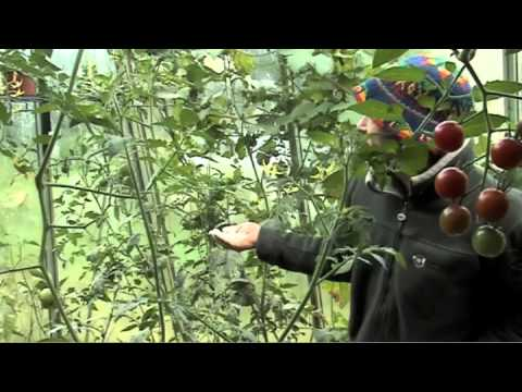 comment traiter tomates contre mildiou