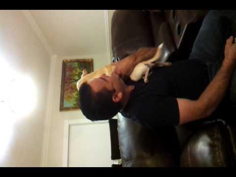 Chihuahua Singing