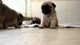mops Mops Pug Puppies 30 Days  Old