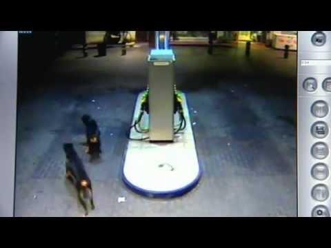 PERROS DE ATAQUE - Dos personas han sufrido heridas, al parecer de carácter no grave, tras ser atacadas por tres perros rottweiler en una gasolinera del polígono Carrús, en Elc...