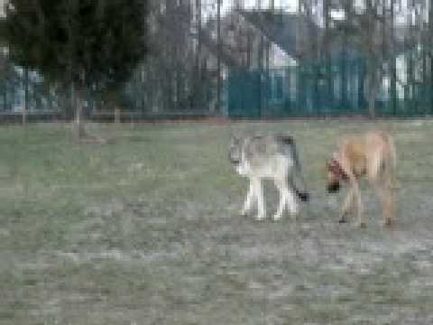 Video Wolf & Great Dane @ Dog Park download in MP3, 3GP, MP4, WEBM, AVI, FLV January 2017