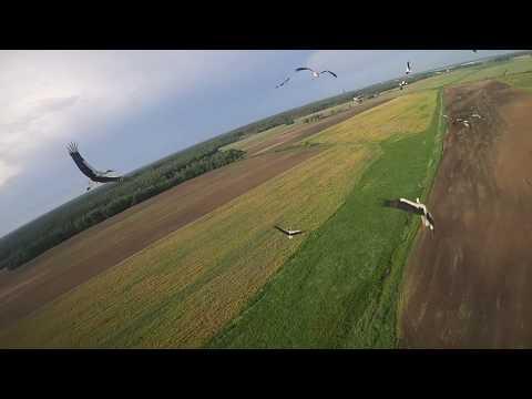 Белорус подружил аистов со своим дроном и снял эпичное видео их полета