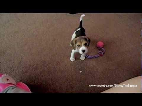 Disney the Beagle