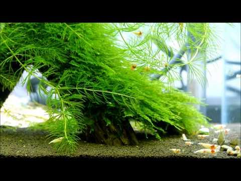 レッドビーシュリンプ モスラ 30キューブ Red bee shrimp 30cube aqua