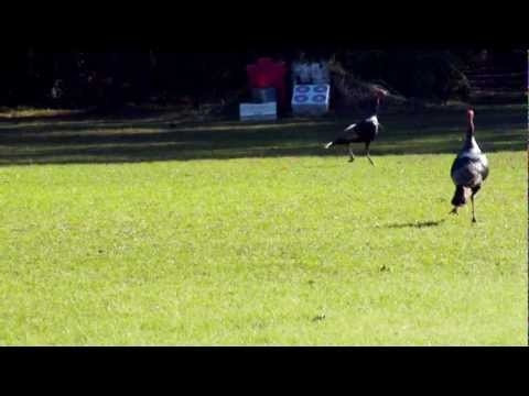 """KOKO"", THE DEER DOG TAKES ON SOME WILD TURKEYS !!"