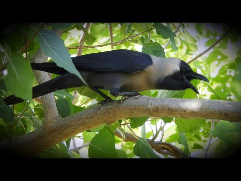 crow bird crowing sound    crow ki awaz naturally