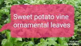 Sweet potato vines is beautiful easily grown vine.please like share and subscribe.15 July.