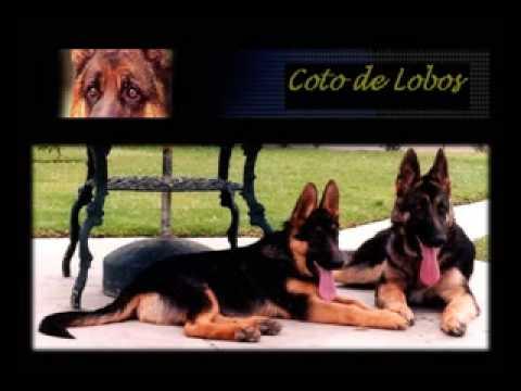 Como Educar UN Perro Pastor Alemán