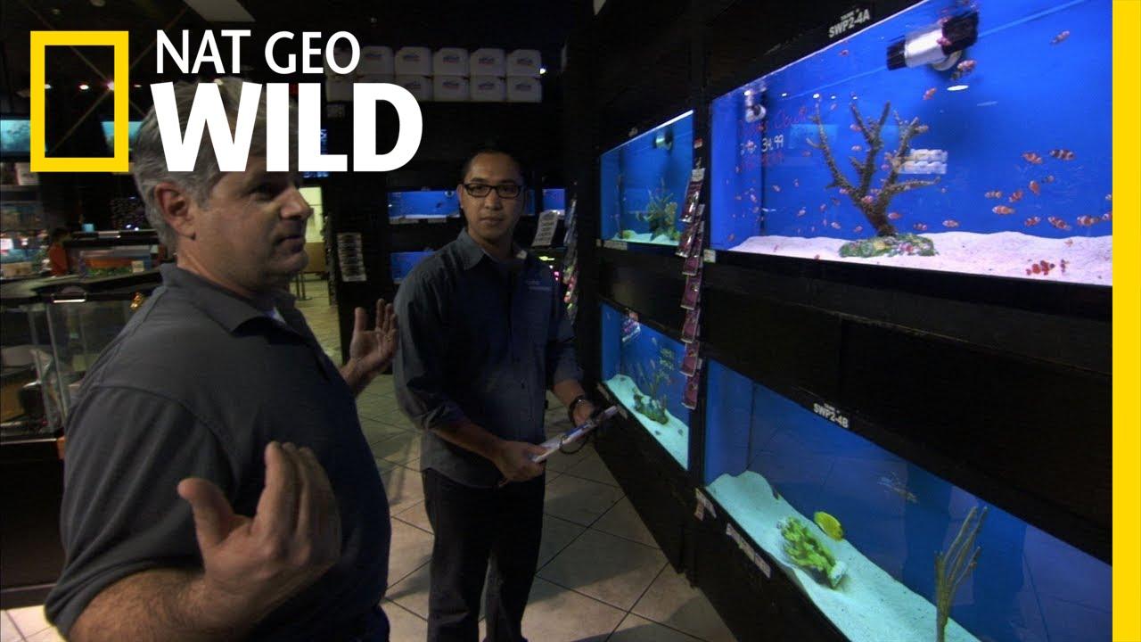 Fish tank kings a snorkelers dream - Avoiding A Bloodbath Fish Tank Kings