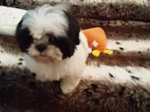 Female Shihtzu Puppy! AKC Registered!