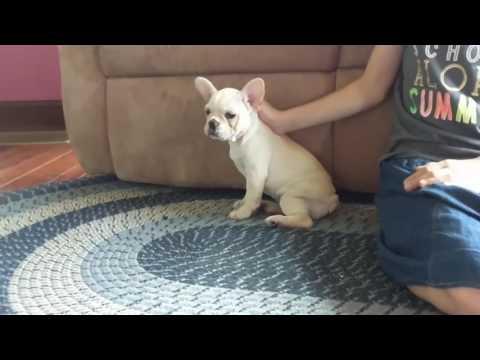 Esme French Bulldog Ohio