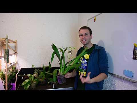 Orchideen-Blütentriebe und -blüten im November: Phragmipedium, Odontoglossum, Phalaenopsis