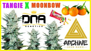 TANGIE x MOONBOW | Strain Review by The Cannabis Connoisseur Connection 420