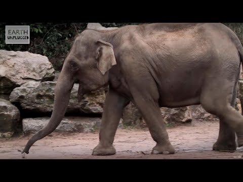 Elephant Giving Birth - Part 1 | Earth Unplugged