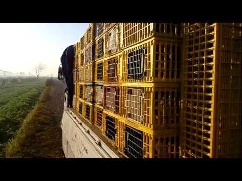 اشرف الهاشمي ومحطة سباق المنيا RACING PIGEONS