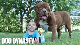 Video Giant Pit Bull Hulk & The Newborn Baby | DOG DYNASTY MP3, 3GP, MP4, WEBM, AVI, FLV Februari 2019