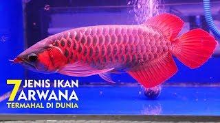 Video Ikan Termahal Asal INDONESIA Di Akui DUNIA - 7 JENIS IKAN ARWANA TERMAHAL DI DUNIA MP3, 3GP, MP4, WEBM, AVI, FLV November 2018