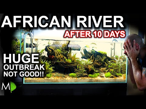 The African River: HUGE Starting Problems!! 10 Day Update (New Tank Syndrome & How To Fix)