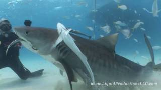 Video Tiger Sharks of Tiger Beach MP3, 3GP, MP4, WEBM, AVI, FLV Juni 2019