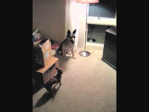 Chihuahua Barking at Statue