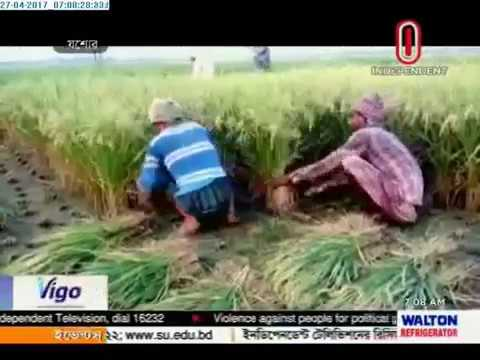 Boro harvest hampered due to rain (27-04-2017)