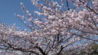 大阪城は、春に訪れるのが一番おすすめ!