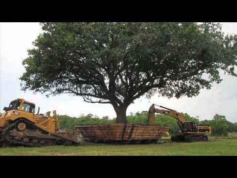 how to transplant oak trees