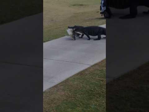Alligaattori esittelee komeaa saalistaan golfkentällä