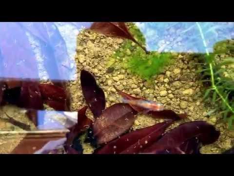 三色透明鱗メダカ  japan killifish 青魚