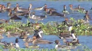 Candaba Philippines  city photos gallery : Philippine Duck and wintering waterfowl in Candaba, Pampanga, Philippines