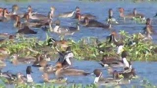 Candaba Philippines  city photo : Philippine Duck and wintering waterfowl in Candaba, Pampanga, Philippines