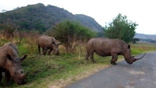 Hluhluwe South Africa  city photos : Rhino in Hluhluwe, South Africa (staying at the AmaZulu Guest House)