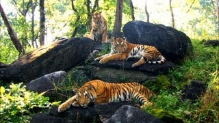 Growing Up in the Tiger Family - David Attenborough - Tiger - Spy in the Jungle - BBC full download video download mp3 download music download