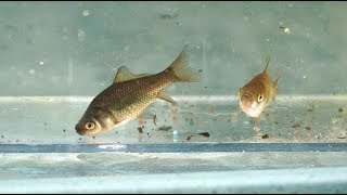 Baby Goldfish grow FAST!! Tubs, Greenhouse, and Patio Pond Updates by Rachel O'Leary