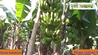 কলা (Banana) চাষে কৃষকের ভাগ্যবদলঃ তিন লক্ষ টাকা আয়