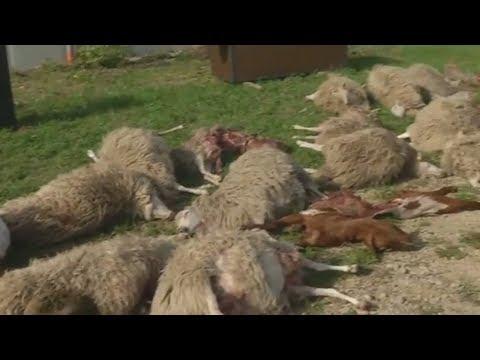 Wölfe im Blutrausch: Rund 40 Schafe und Ziegen gerissen
