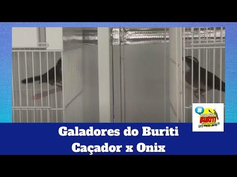 Galeria de Vídeos Galadores do Buriti, Caçador x Onix