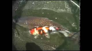 Video On The Koi Farm #15 MP3, 3GP, MP4, WEBM, AVI, FLV Oktober 2018