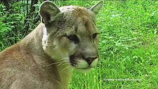 Video A Thirsty Mountain Lion (July, 2017) MP3, 3GP, MP4, WEBM, AVI, FLV Juli 2017
