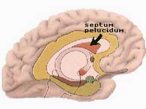 How the Body Works : Units of the Limbic System