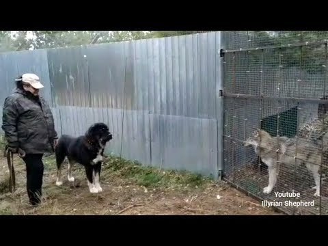 CAO Alabai vs Real Wolf Test 2018