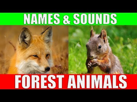 Forest Animals Video for Kids - Children Learn Forest Animal Sounds and Names   Kiddopedia