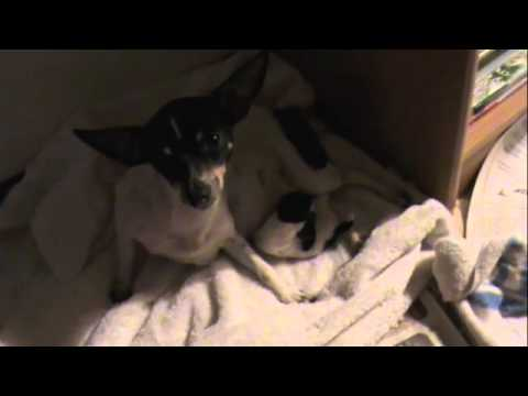 Murillo Chihuahua birth baby dog shakira