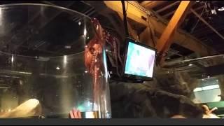 octopus tries to escape tank at seattle aquarium original. Black Bedroom Furniture Sets. Home Design Ideas