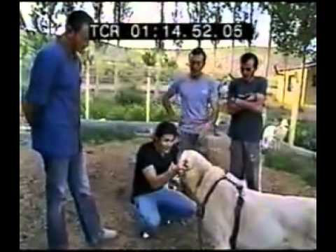 Kangal Power - Turkish Shepherd Dog Kangals are accompanied the Oghuz Turks, fleeing from Genghis Khan as working dogs on their long journey from Central Asia to Anatolia i...